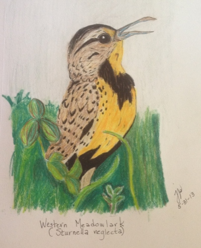Western Meadowlark--Prismacolor Colored Pencils