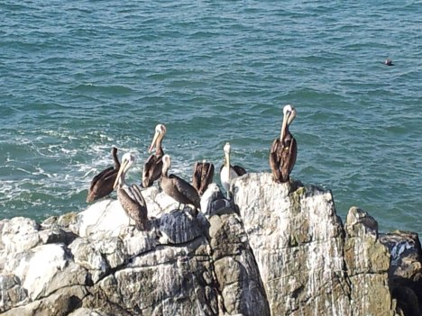 PS Pelicans Vina del Mar